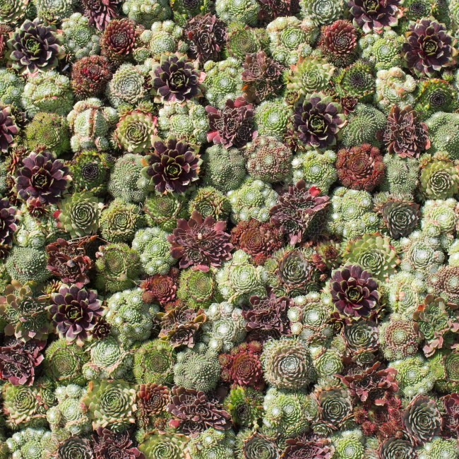 Красивые фото Каменной розы - подборка 20 картинок 3