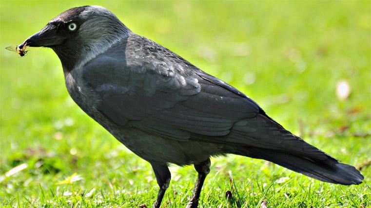 Классные и крутые картинки воронов, фото воронов - подборка 18