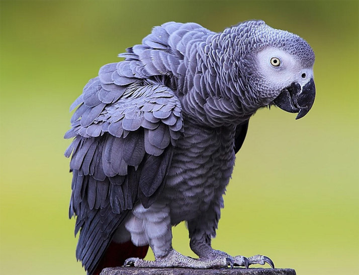 Красивые и прикольные фото, картинки попугая Жако - подборка 18