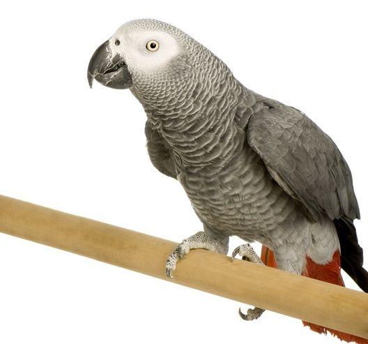 Красивые и прикольные фото, картинки попугая Жако - подборка 8