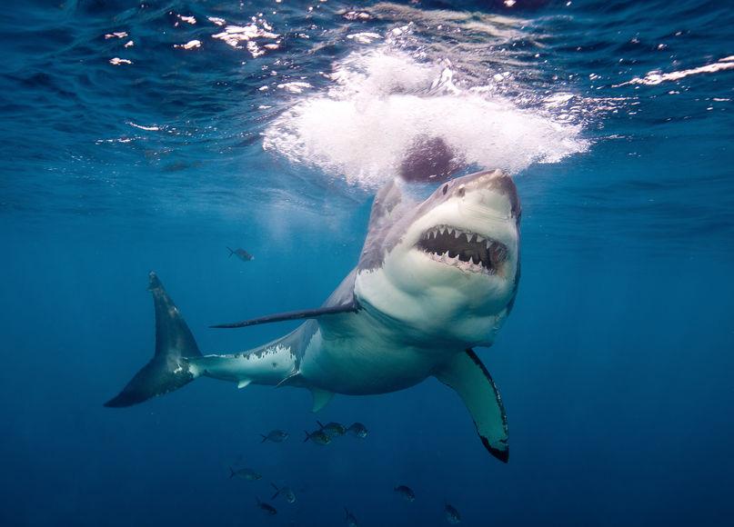 Красивые картинки и фото на тему - Большая белая акула 1