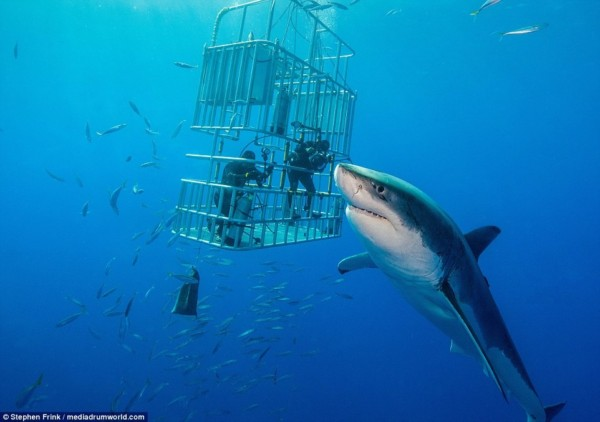 Красивые картинки и фото на тему - Большая белая акула 11