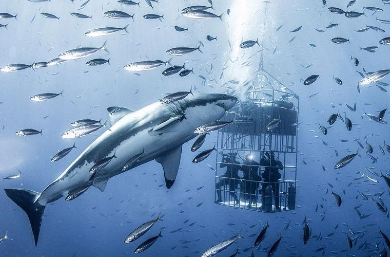 Красивые картинки и фото на тему - Большая белая акула 2