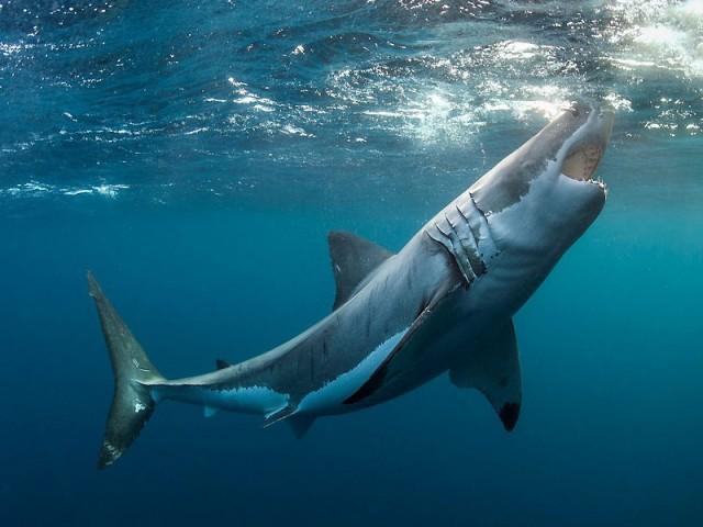 Красивые картинки и фото на тему - Большая белая акула 4