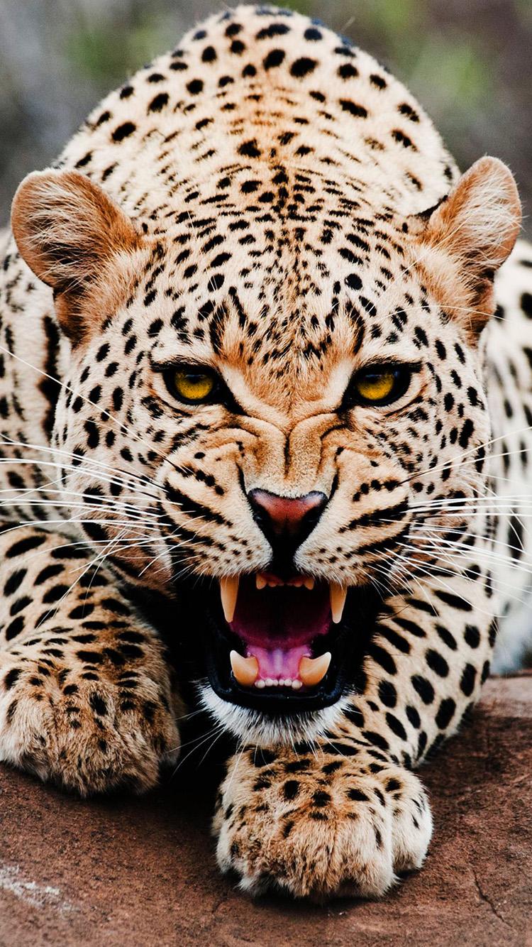 Лучшие картинки и обои на телефон Леопард - подборка 1