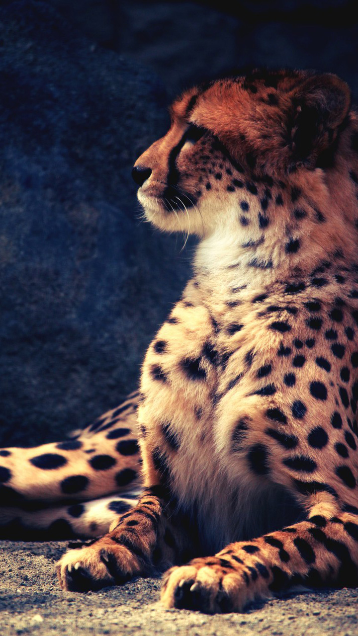 Лучшие картинки и обои на телефон Леопард - подборка 12
