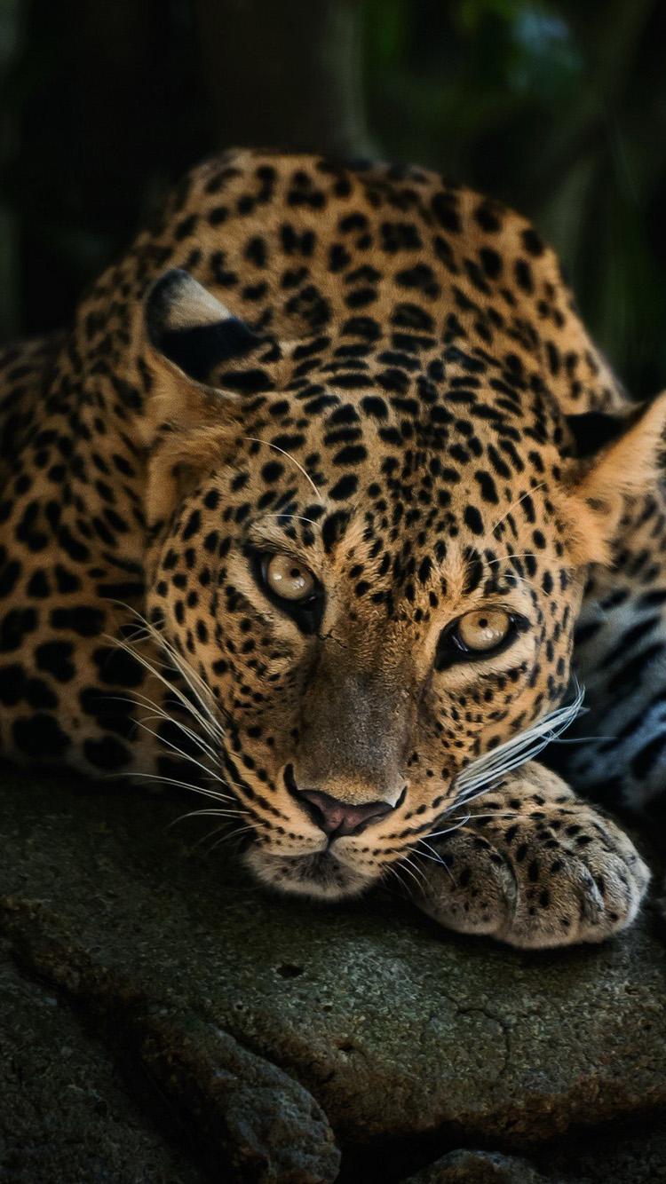 Лучшие картинки и обои на телефон Леопард - подборка 3