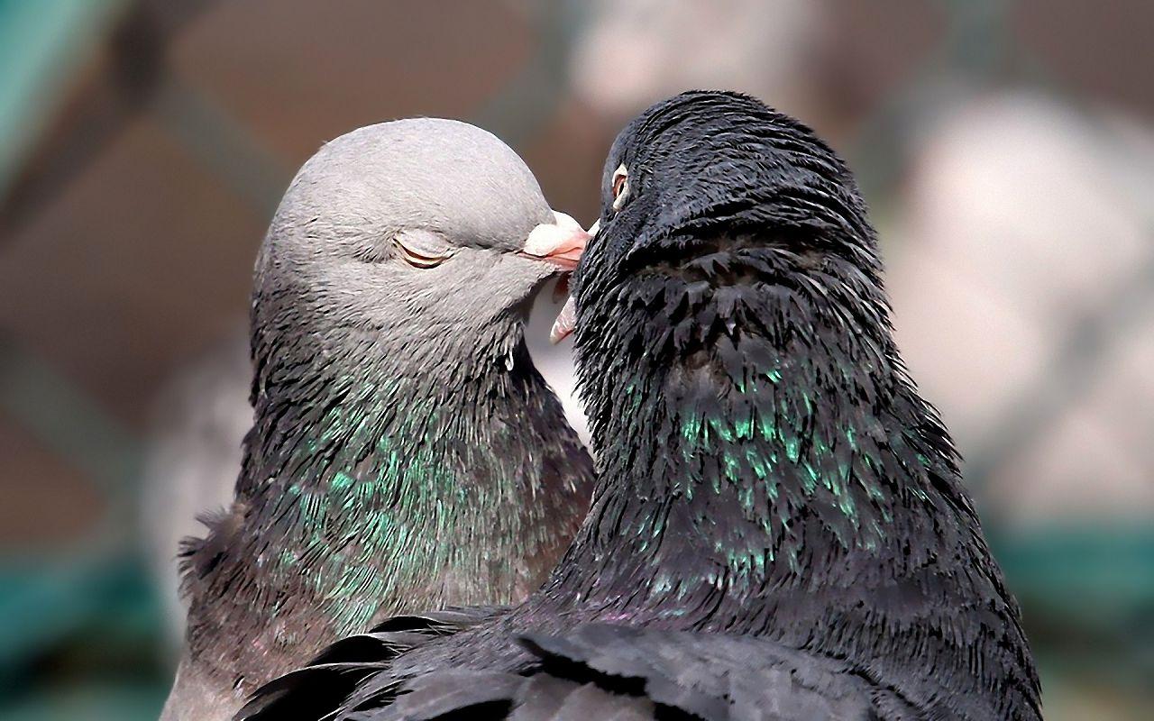 Как отличить голубя от голубки Эффективные способы и методы 2