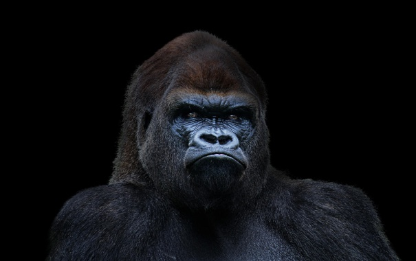 Красивые фото и картинки гориллы - подборка 16 фотографий 1