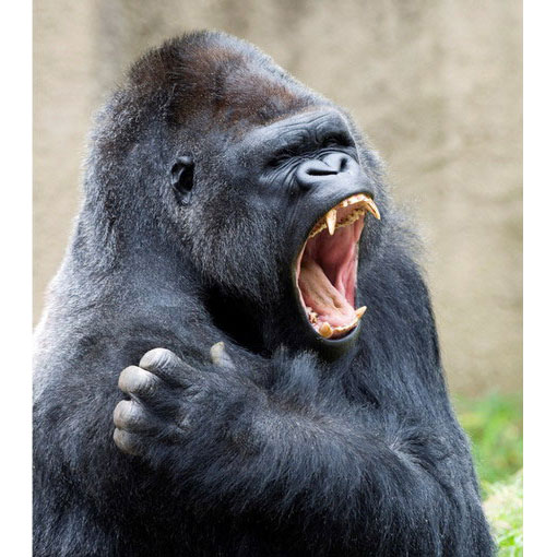 Красивые фото и картинки гориллы - подборка 16 фотографий 11