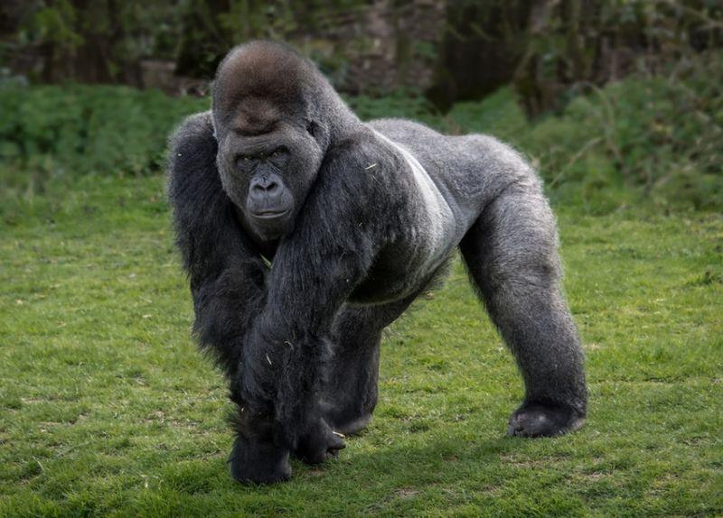 Красивые фото и картинки гориллы - подборка 16 фотографий 13