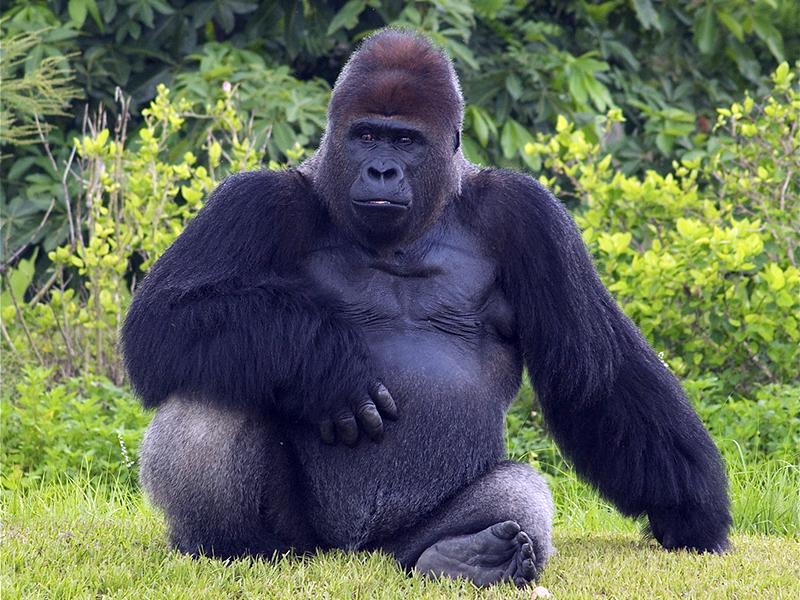 Красивые фото и картинки гориллы - подборка 16 фотографий 14