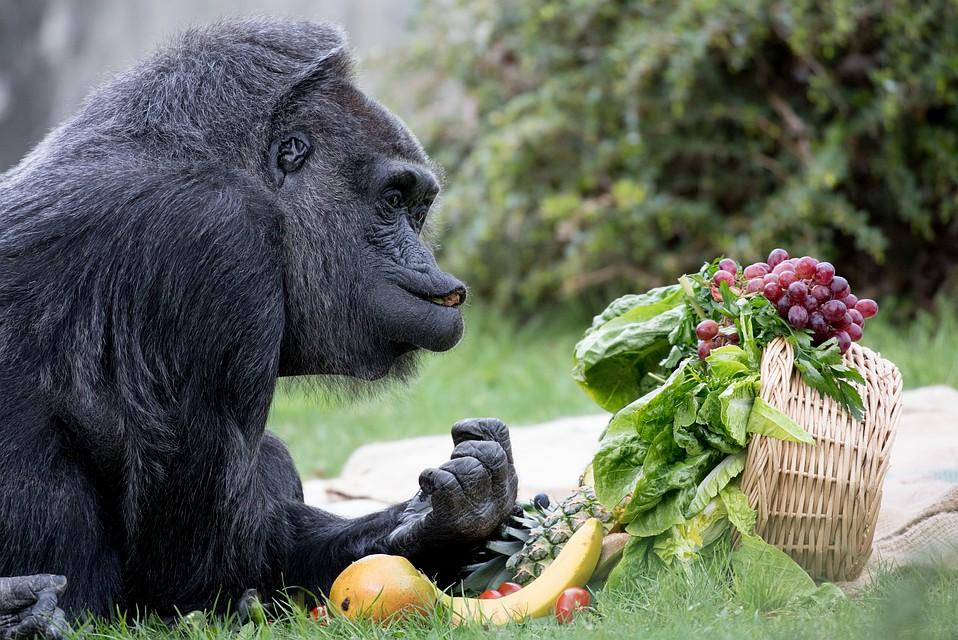 Красивые фото и картинки гориллы - подборка 16 фотографий 16