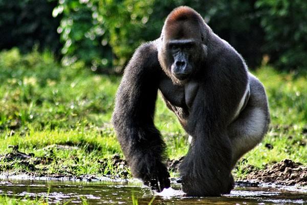 Красивые фото и картинки гориллы - подборка 16 фотографий 2