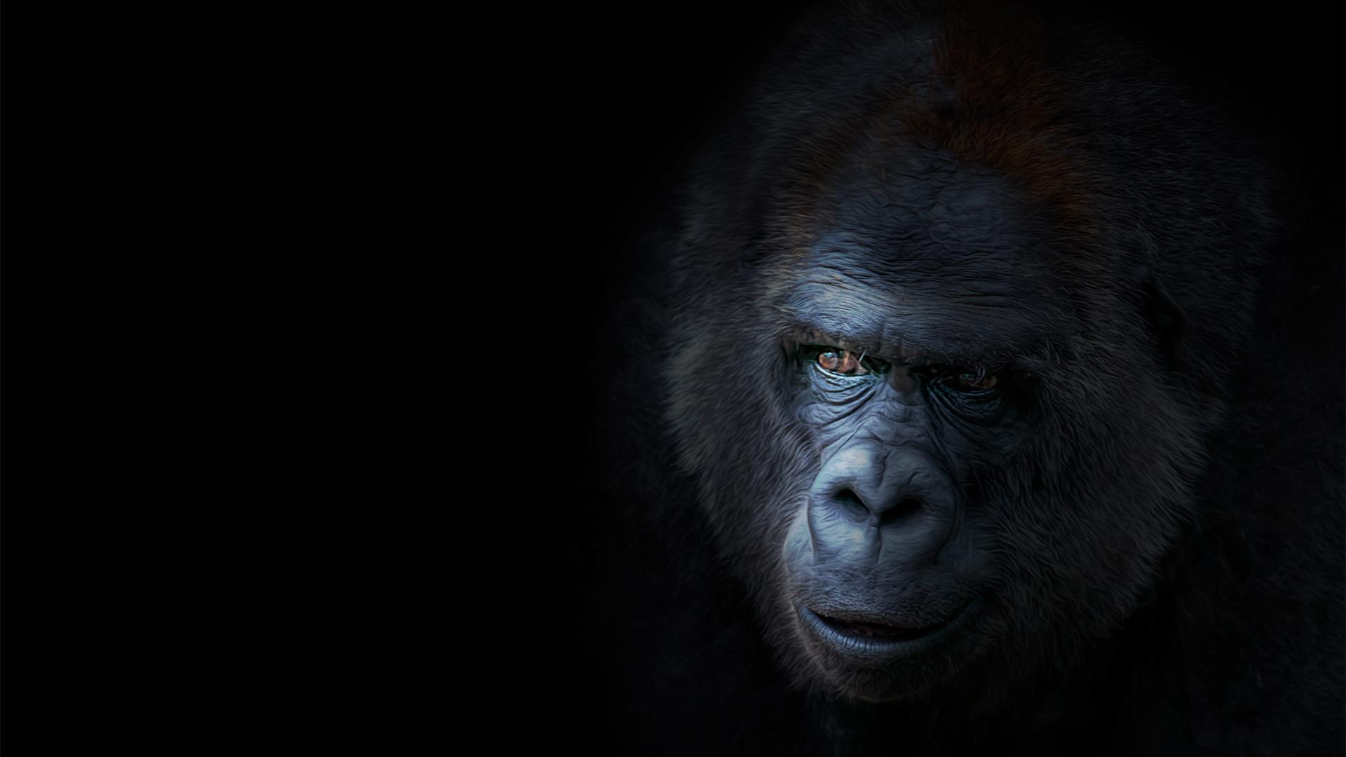 Красивые фото и картинки гориллы - подборка 16 фотографий 7