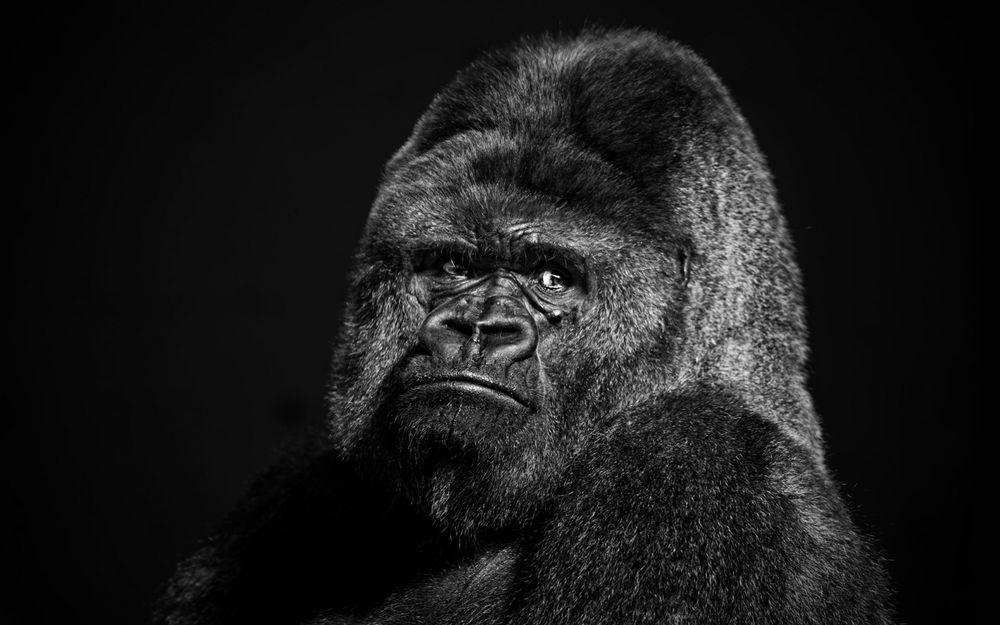 Красивые фото и картинки гориллы - подборка 16 фотографий 8