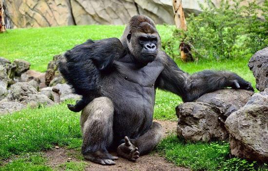 Красивые фото и картинки гориллы - подборка 16 фотографий 9
