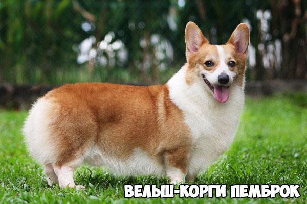 velsh-korgi-pembrok