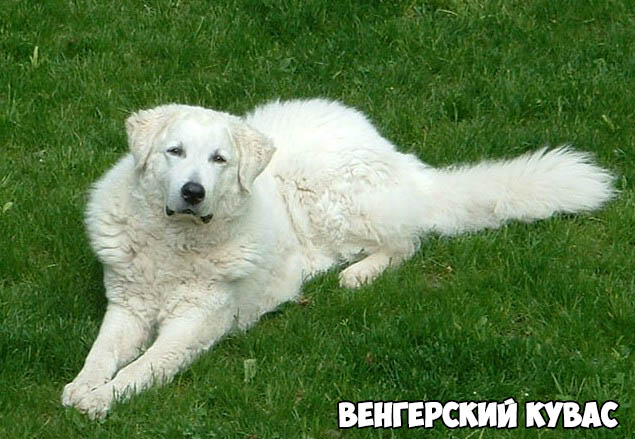 vengerskij-kuvas