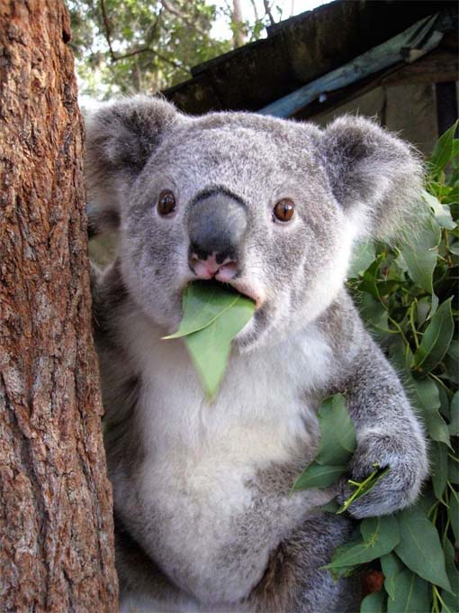 mokraya-koala-foto-6