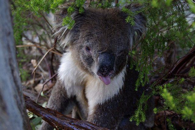 mokraya-koala-foto-7