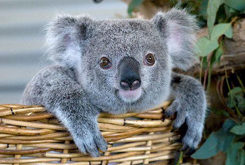 mokraya-koala-foto