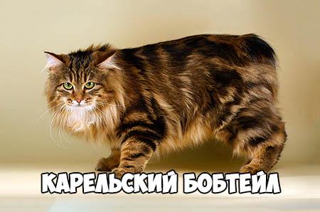 Карельский бобтейл