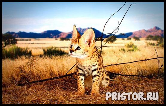 Саванна кошка фото 10