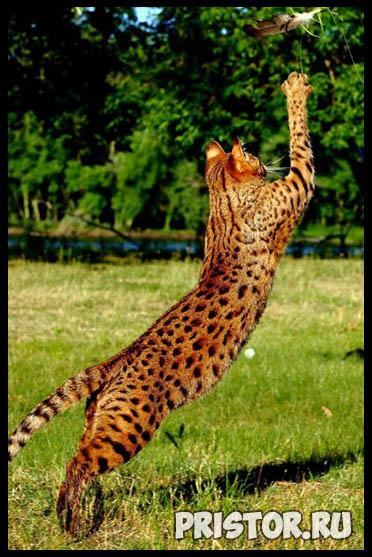 Саванна кошка фото 11