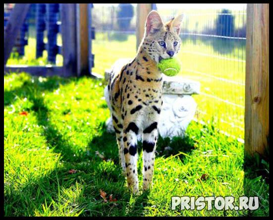 Саванна кошка фото 12