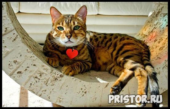 Саванна кошка фото 13