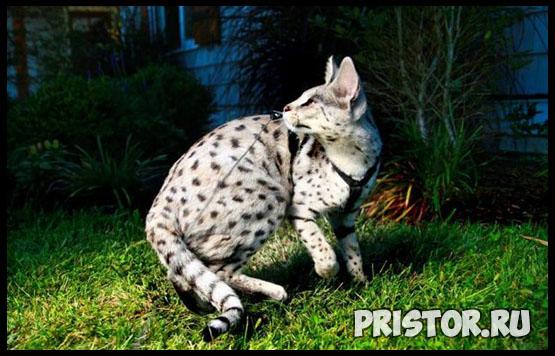 Саванна кошка фото 14