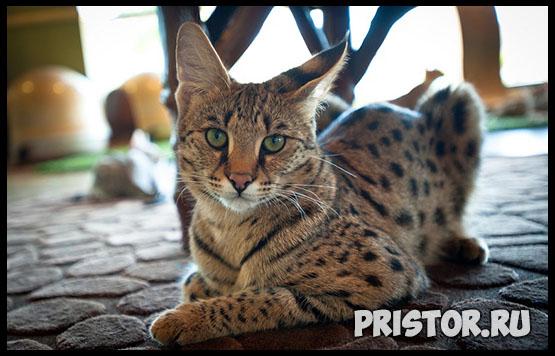 Саванна кошка фото 3
