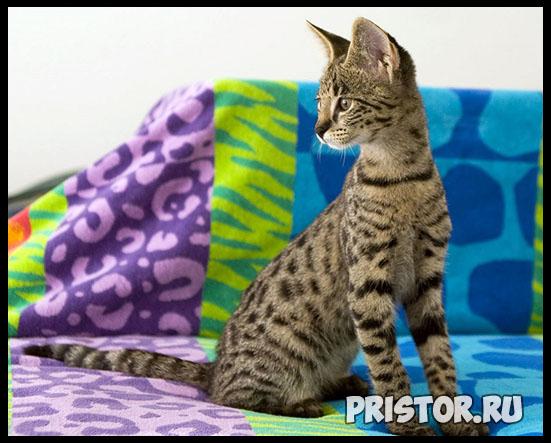 Саванна кошка фото 4