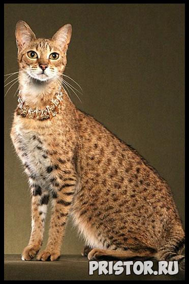 Саванна кошка фото 6