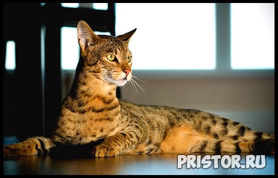 Саванна кошка фото 7
