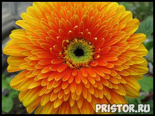 Гербера цветок фото, фото букетов герберы - подборка 6