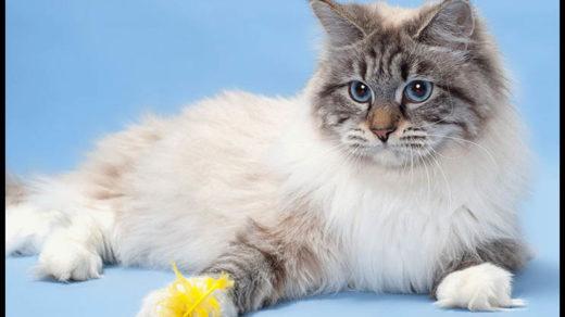 Кошка-невская-маскарадная-фото