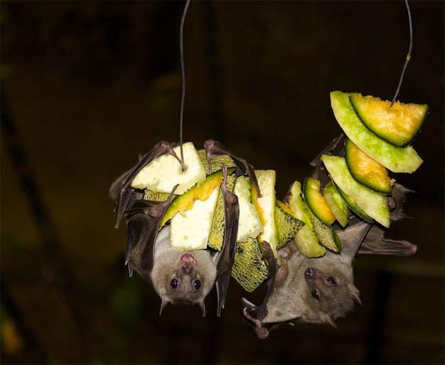 Летучая мышь картинки, прикольные и красивые картинки летучей мыши 11