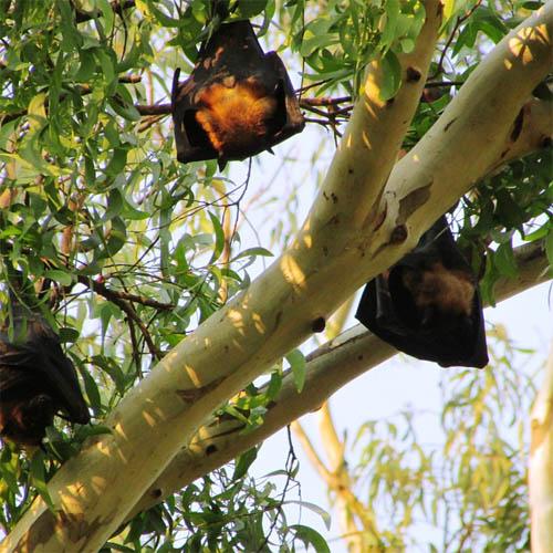 Летучая мышь картинки, прикольные и красивые картинки летучей мыши 12