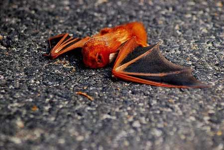 Летучая мышь картинки, прикольные и красивые картинки летучей мыши 3