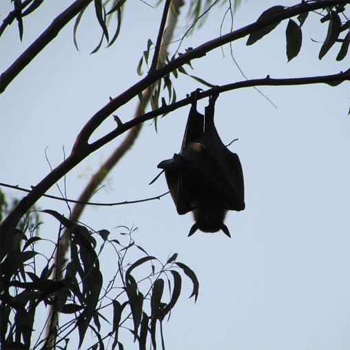 Летучая мышь картинки, прикольные и красивые картинки летучей мыши 9