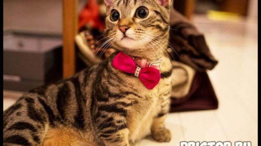 Манчкин кошка - фото, описание породы, характер 8
