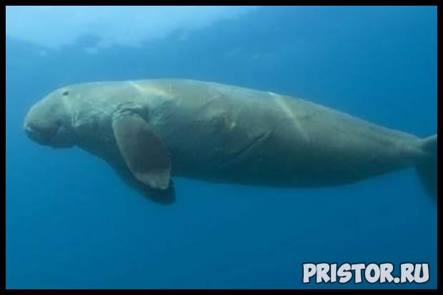 Морская корова дюгонь - прикольные фото смотреть бесплатно 10