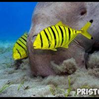 Морская корова дюгонь - прикольные фото смотреть бесплатно 3