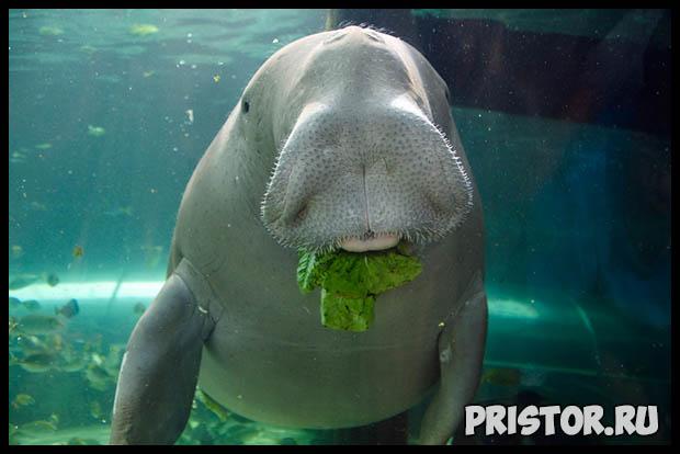 Морская корова дюгонь - прикольные фото смотреть бесплатно 9