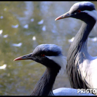 Птица журавль красавка фото 8