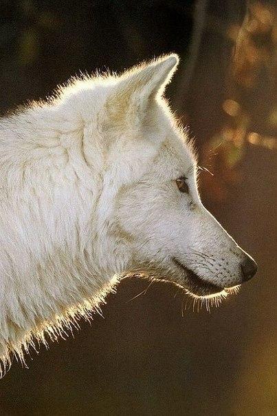 Скачать фото волка бесплатно 10