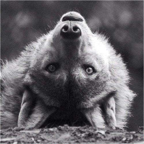 Скачать фото волка бесплатно 14