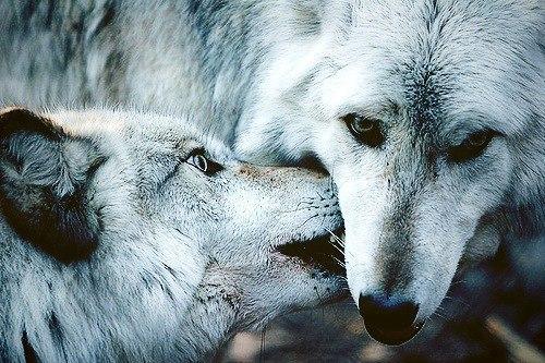 Скачать фото волка бесплатно 15